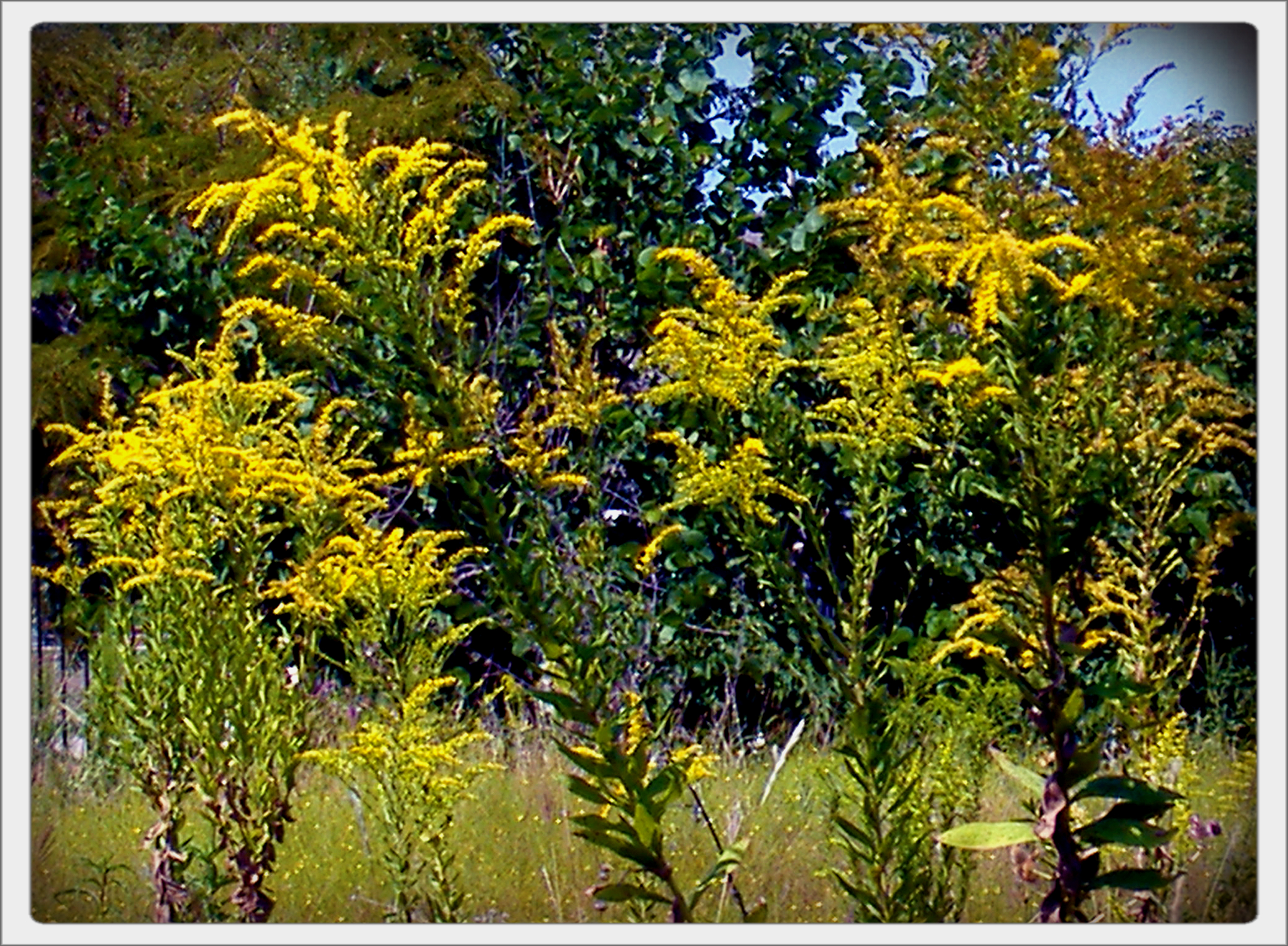 Ragweed Pictures Bloom Ragweed Which Also Blooms