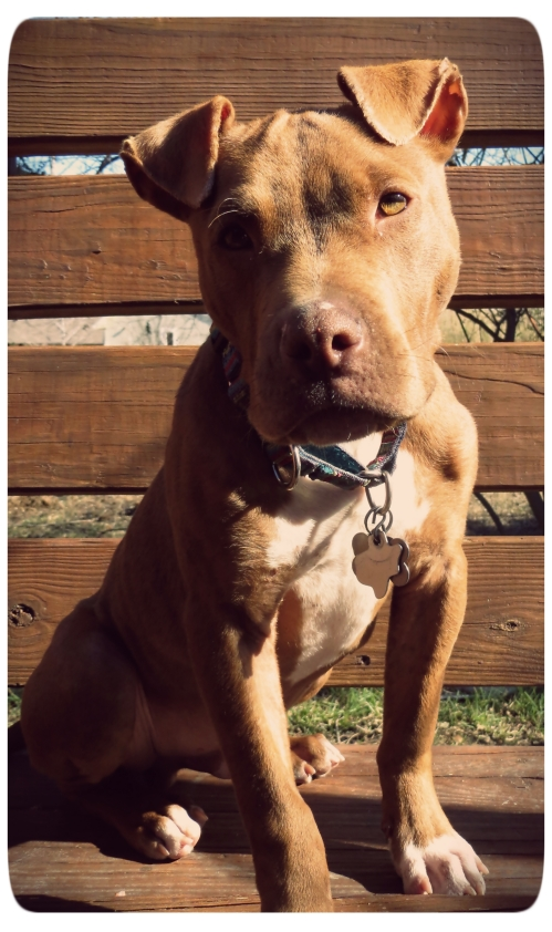 Stoic Pit Pup