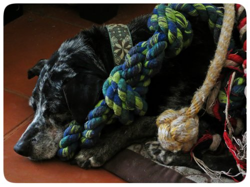 Apparently Charley thought the rope toys made better fashion accessories.