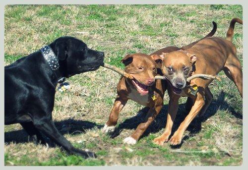 Three Pups Carry A Stick