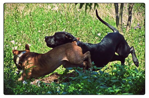 Rufus and Grimm frolic through the grass, kicking up their heels in almost perfect synchronicity.