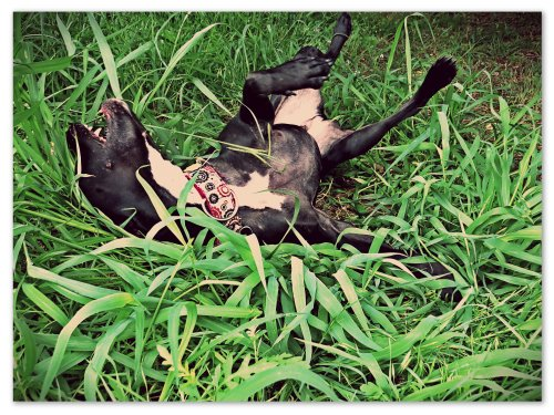 Grimm wallows in the grass, enjoying the crisp coolness on his skin.