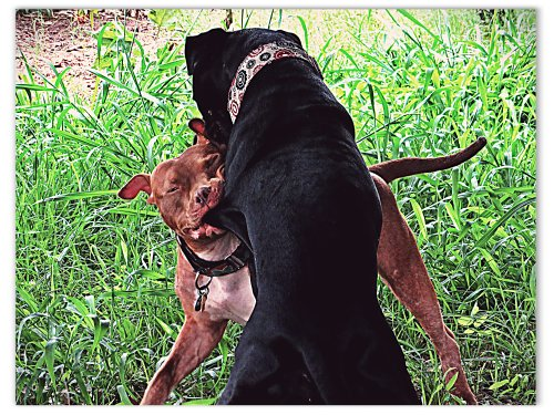 While wrestling, Rufus gets a mouthful of Grimm skin.