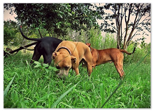 My herd of dogs, pretending to be cows munching on fresh green grass.