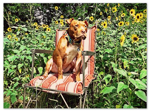 Rufus poses by himself in front of the sunflowers.  Independence in a dog can be a good thing.