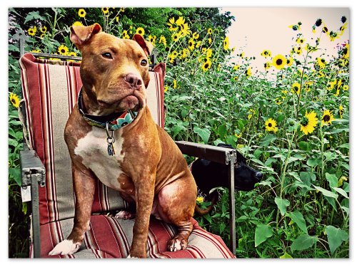 Grimm decided to survey the yard from the safety of the sunflowers.  Rufus decided to join him, but since his legs are so much shorter than Grimm's, he gave himself a boost.