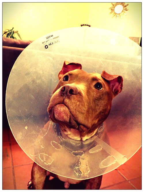 Rufus shows of his cone of shame...er, fame.  Not only is it a fabulous fashion accessory, but it also acts as a bib when he drools as shown above.