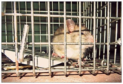 Rat in a trap